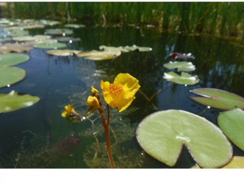 Bladderworts in the swimming pond